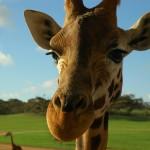 giraffe-479656_1280